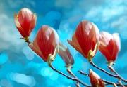 1_Magnolias_composite_2007