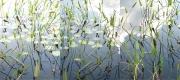 7_Lilies_triptych_2011